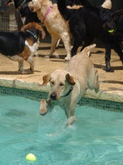 A dog jumps into the swimming pool at The Grand Paw pet resort.