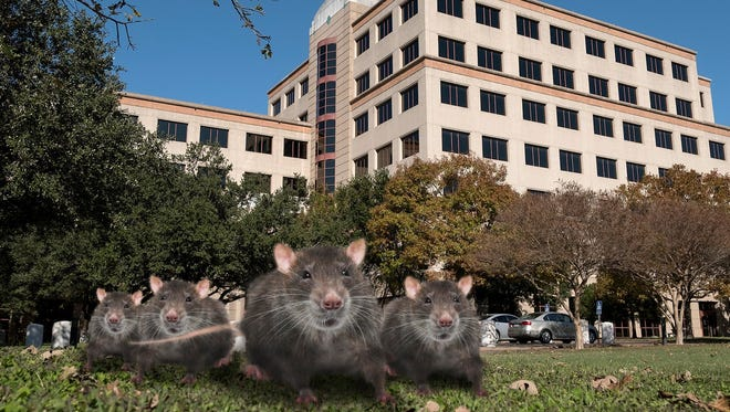 Rats are afoot in Austin