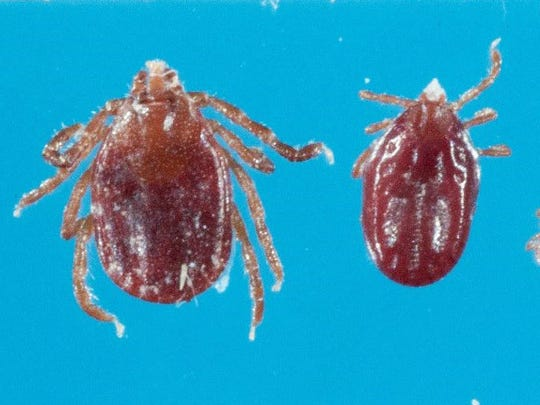 A photo of the longhorned tick or bush tick that the