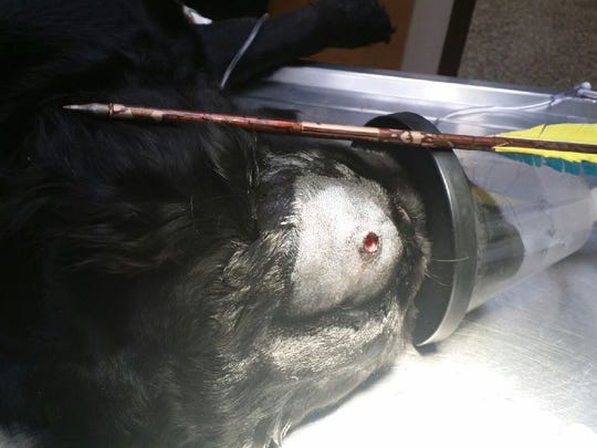 This2-year-old flat-coated retriever wandered around for two days with an arrow sticking out of her head after she was shot by her owner with a crossbow, authorities say.