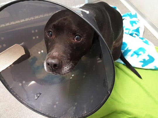 Zeus, a pit bull mix that was stabbed in Des Moines in July 2017.