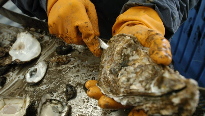 Dock worker shucks a Pacific oyster in Newport.