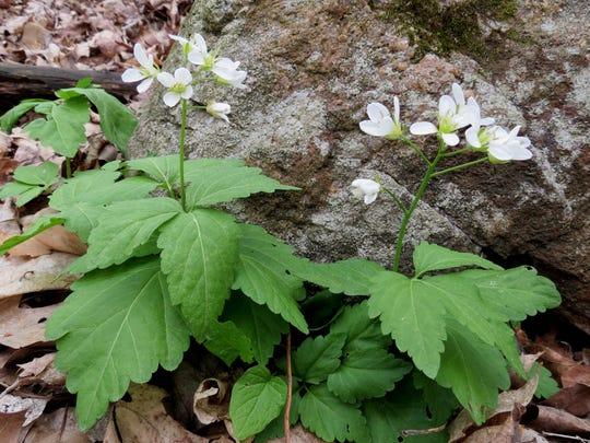 The ephemeral spring wildflower known as crinkleroot.