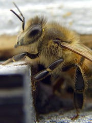 Cornell University Michael L. Smith subjected himself to bee stings over 38 days on various parts of his body.