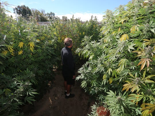 Howell Township resident Darryl Berry, pictured in a marijuana garden on Crofoot Road in Fowlerville, said he consulted with medical marijuana growers about how to successfully grow marijuana.