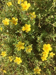 Portulaca not only brightens landscapes, it makes a