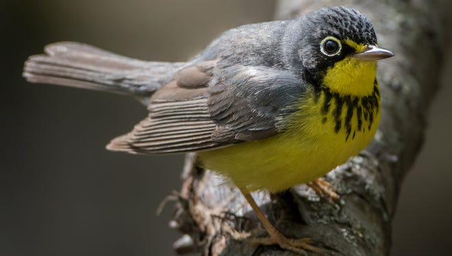 This Canada warbler was photographed in southeastern Wisconsin in April 2017 by Jeremy Meyer.