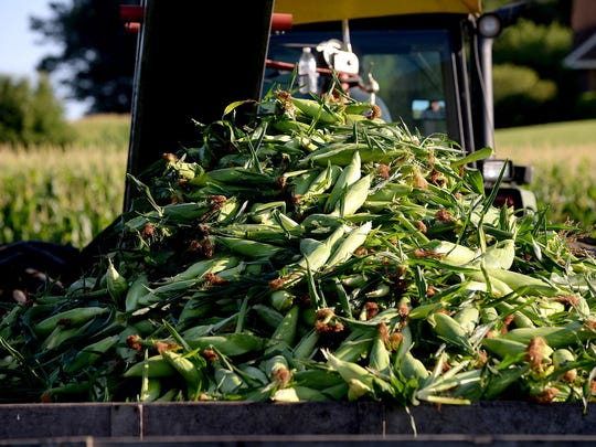 A pile of sweet corn sits in the wagon trailing the tractor Wednesday, July 22, 2015 at the Reese Farm in DeWitt Township. Wednesday was opening day for the Reese farm and its sweet corn business for the season.