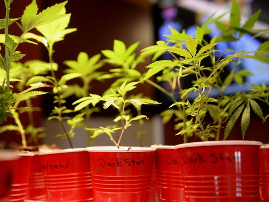 A group of Dark Star marijuana plants sit on display Wednesday, April 1, 2015 at the Puff-n-Stuff store in Lansing.