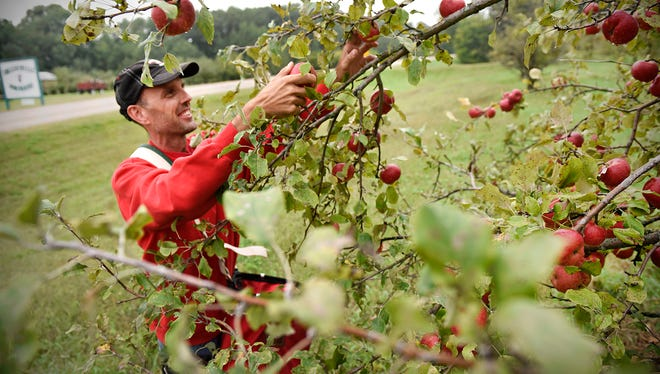 Todd Beumer, owner of Collegeville Orchards, picks ripe apples off a tree Wednesday, Sept. 7, in Collegeville.