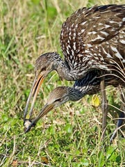 A limpkin adult showing its offspring how to extract