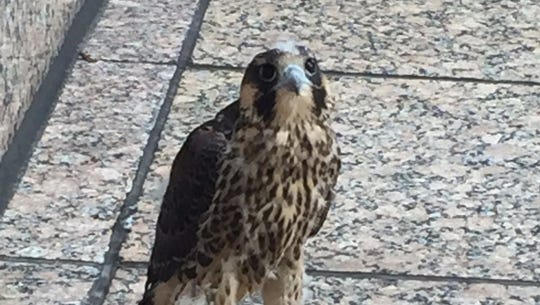 JC the young peregrine falcon waits for human rescuers