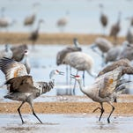 These dancing sandhill cranes perform one of world's greatest migrations