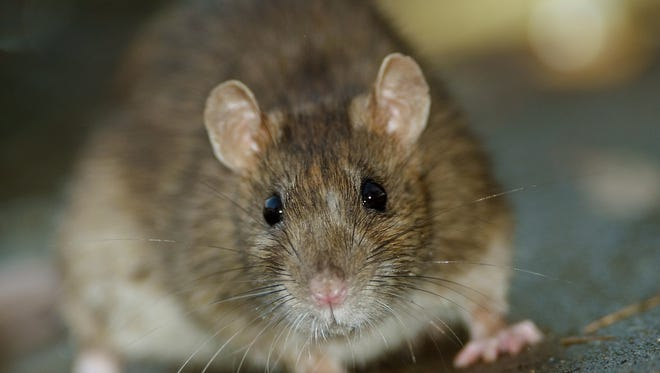 Rep. Jay Lawrence wants to be able to shoot rats within city limits.