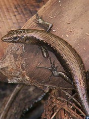 The Slevin's skink, which is a small lizard about three inches long, not including its tail, is among 23 species of plants and animals that could be listed as threatened or endangered. The insect-eating lizard lives on the ground or in trees and can be found throughout the Mariana Islands.
