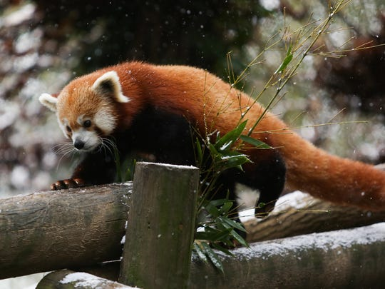Red panda Lincoln inspects the first snowfall of the season in the Boyd Family Red Panda Village at Zoo Knoxville on Dec. 8, 2017. Red pandas are natives of the Himalayas and have dense fur to keep them warm during winter; it even covers the soles of their feet!