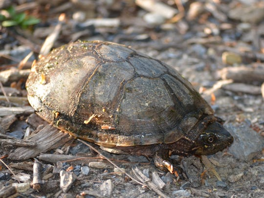 The smell of the musk turtle led us to a new discovery.