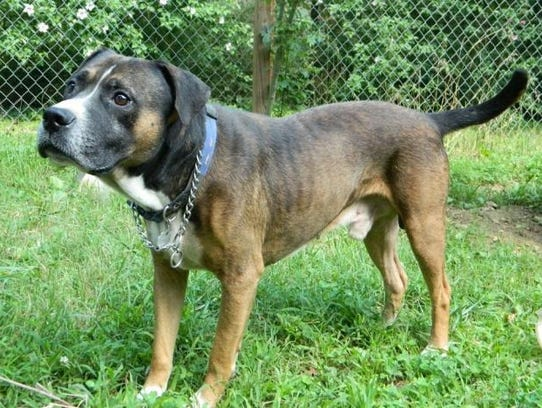 Duke is an 8- to 10-year-old, neutered, male boxer