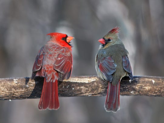 A pair of cardinals perch on a branch. The habitat around your home — fields, woods, water  — is the biggest factor in determining what kinds of birds you will see.