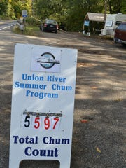 Nearly 5,600 summer chum salmon were reported returning to the Union River to spawn and die this year, making this year the third-highest number of summer chum reported in the river since 1975. Summer chum are the first salmon species to return home in the Hood Canal watershed, and their eggs and carcasses offer food and fertilization to the watershed.