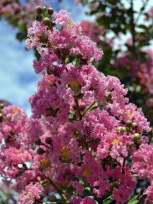 Crape myrtle perfect for Central Valley are easy to care for and well adapted to our hot summers and mild winters.