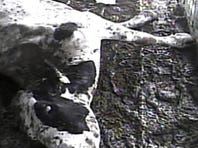 A 'downer' dairy cow too sick or injured to walk at the Hallmark Meat Packing Co. in Chino, Calif., in 2007, a year before the largest beef recall in U.S. history. Friday, the owners of defunct meat packer, which supplied ground beef to the National School Lunch Program, agreed to pay $317 million to settle a landmark fraud lawsuit over animal abuse.