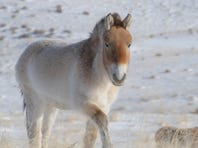 Ancient DNA mapped from 700,000-year-old horse