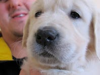 Trainer Jake Guell holds an English golden retriever puppy. Guell will train her to become a therapy dog for a teenager who was severely injured in a fall from a Wisconsin amusement park ride in 2010.