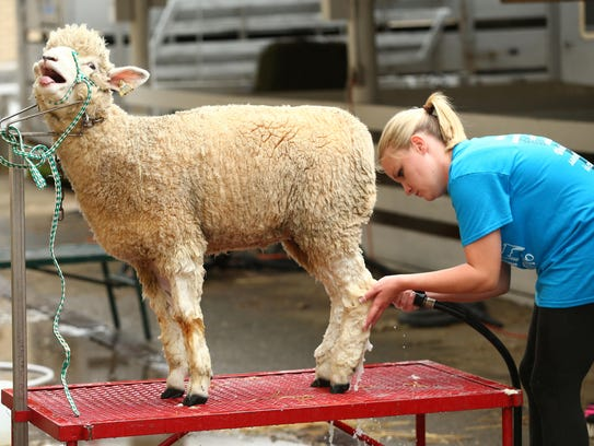 A competitor readies a sheep at the Great New York