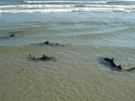 Florida Coast Prime Spot For Sharks
