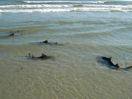 Florida Coast Prime Spot For Sharks