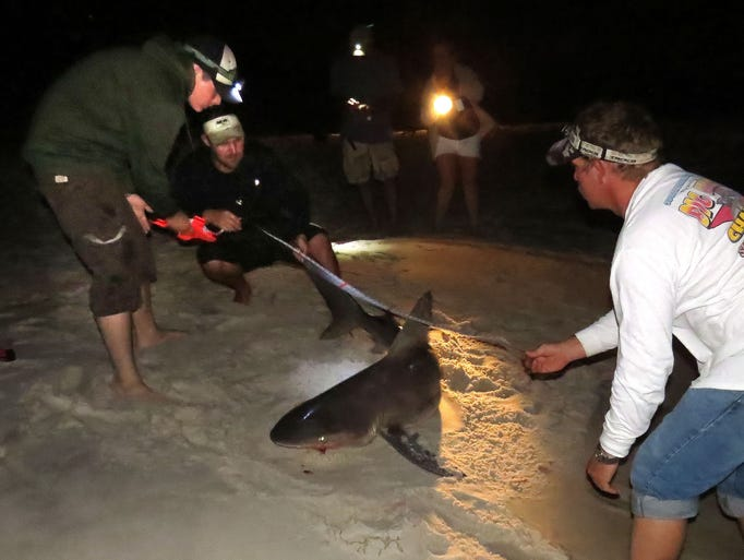 (l-r foreground) Kenny Peterson, Joey Polk and Earnie Polk measure this sandbar shark they just help to land before tagging the fish and releasing back into the Gulf of Mexico Wednesday evening.
