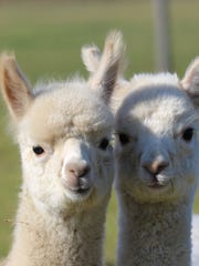 Alpacas are seen at Marquam Hill Ranch.
