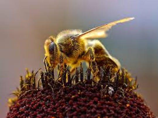 A honeybee pollinates a flower.