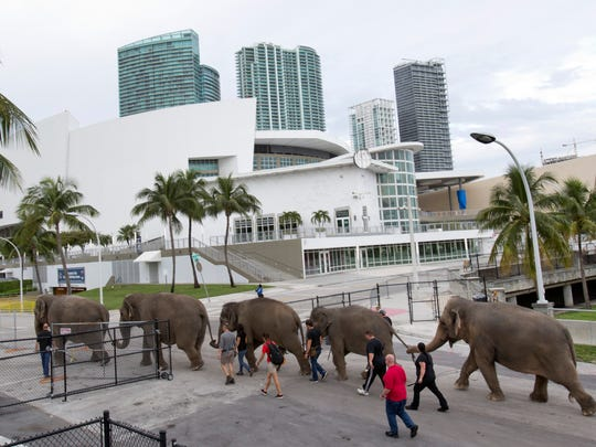 Asian elephants belonging to Ringling Bros. and Barnum & Bailey Circus, are lead from their enclosure to a rehearsal  in Miami.