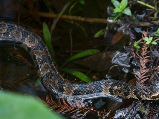 A Water Moccasin moves through the fallen foliage at