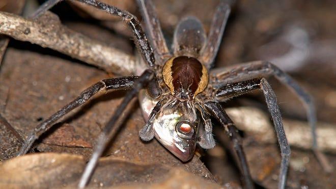 Adult male spider caught a Characiform near Samona Lodge, Cuyabeno Wildlife Reserve, Ecuador.