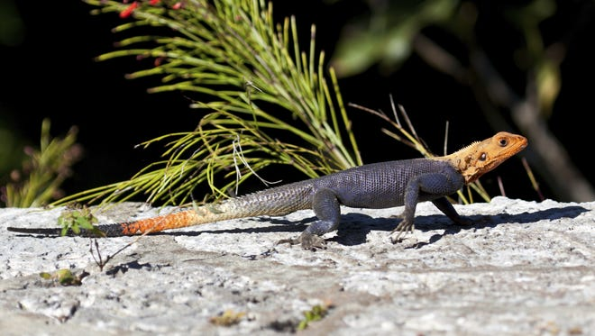 In Florida, African redhead lizards, also called African rainbow lizards, are seen in urban areas on rocks, walls, sidewalks, rooftops and on trees.