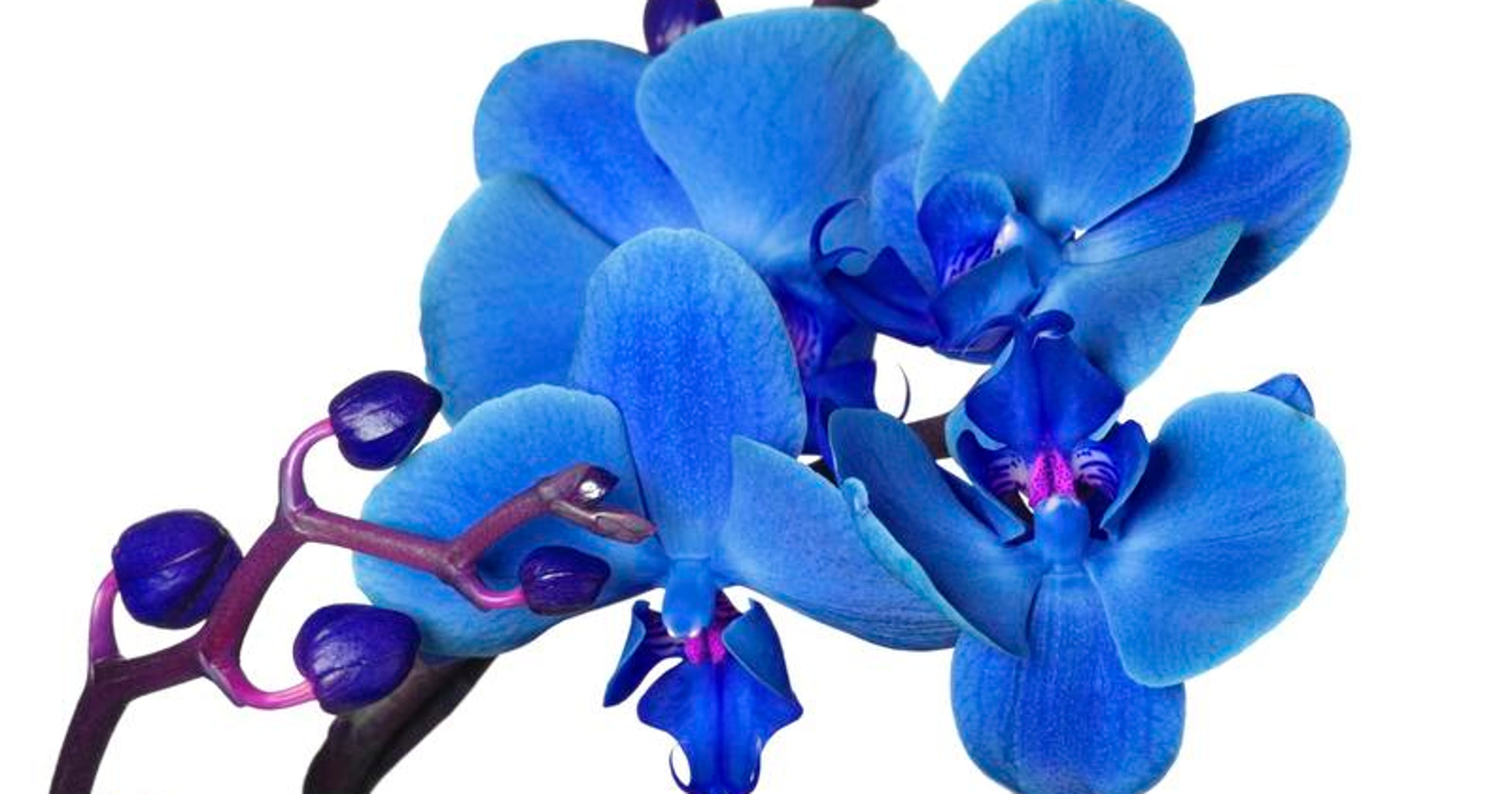 Blue Phalaenopsis Orchids Don T Grow Naturally