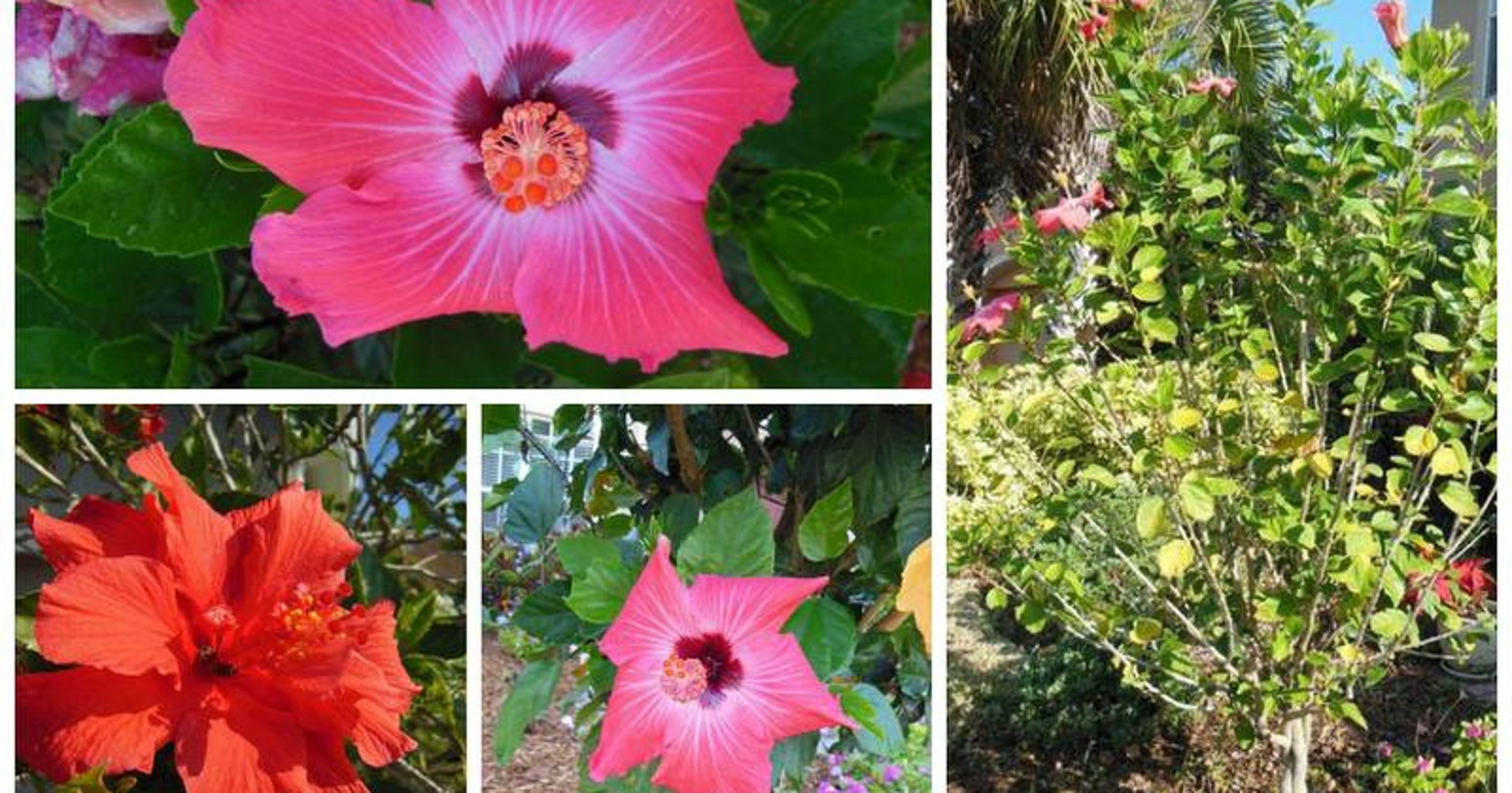 Planting tip the high maintenance hibiscus izmirmasajfo
