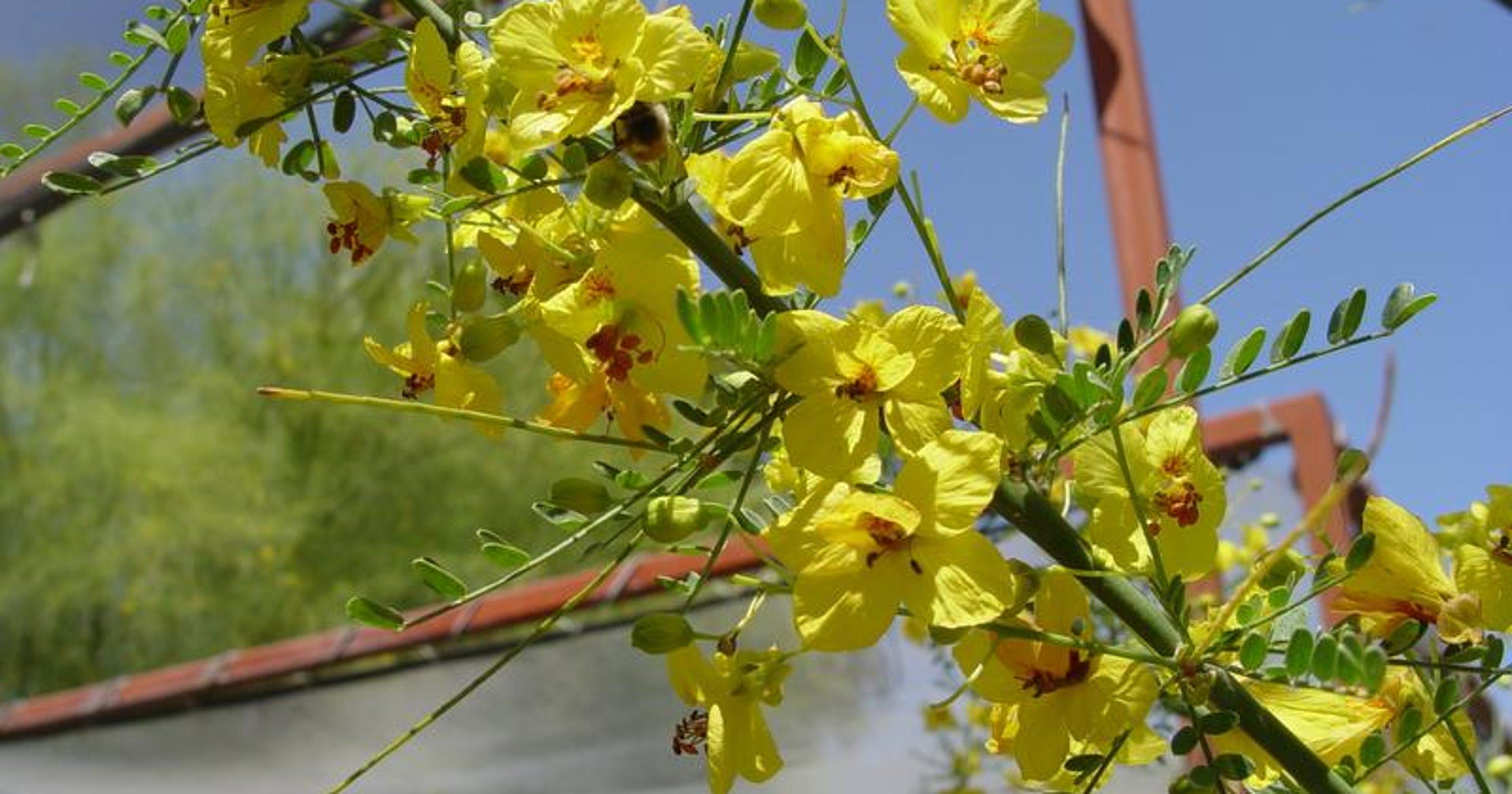 The Beautiful Palo Verde Tree Best Appreciated In Someone Elses Yard