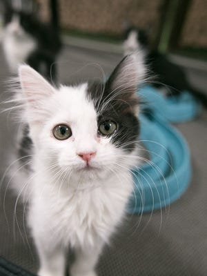 A kitten at a nursery in the Arizona Humane Society in Phoenix on Wednesday, June 4, 2014.