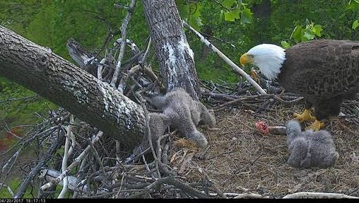 An American eagle at the National Arboretum watches as its eaglet tries to free its leg from a hole in the nest.