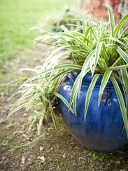 Clip the offshoots of spider plants and replant them