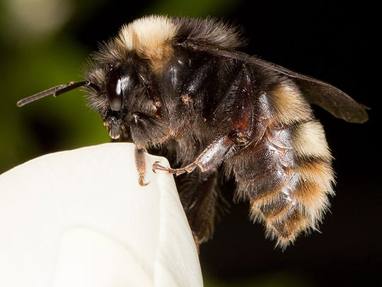 The Western bumblebee was once of the of most common