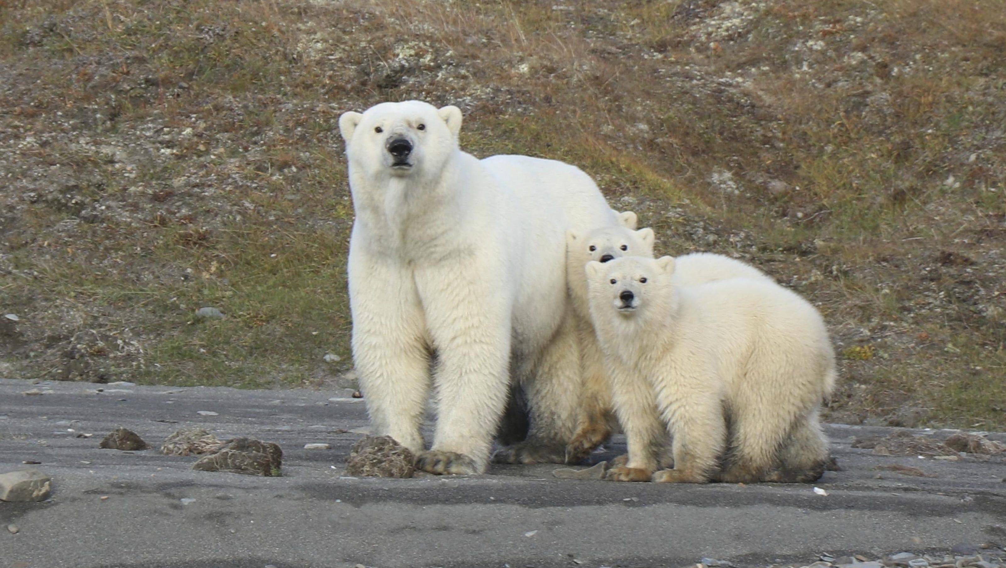 Study finds robust polar bear population in sea near Alaska