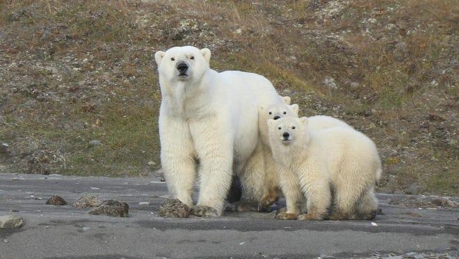 Polar bears are seen on Wrangel Island in the Arctic Circle.
