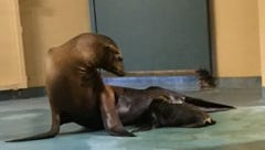 Sea lion pup and its mother, Marina, at Seneca Park Zoo.