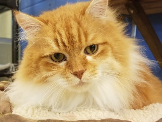Cuddle bug to couch potato, you're sure to find a cat that fits your family at the Humane Society of the Treasure Coast.