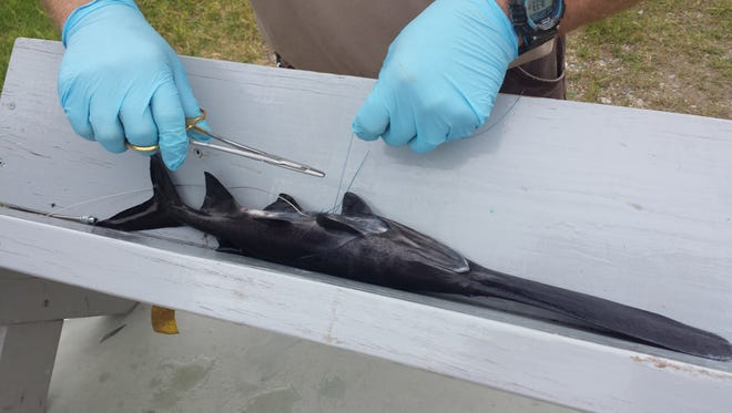 Several hundred paddlefish, some with radio transmitters, were recently released in Caddo Lake.